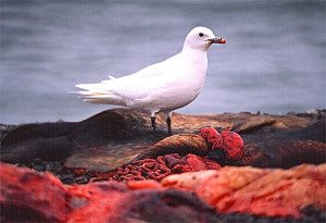 An adult ivory gull feeds on a seal carcass in Resolute Bay, Nunavut.