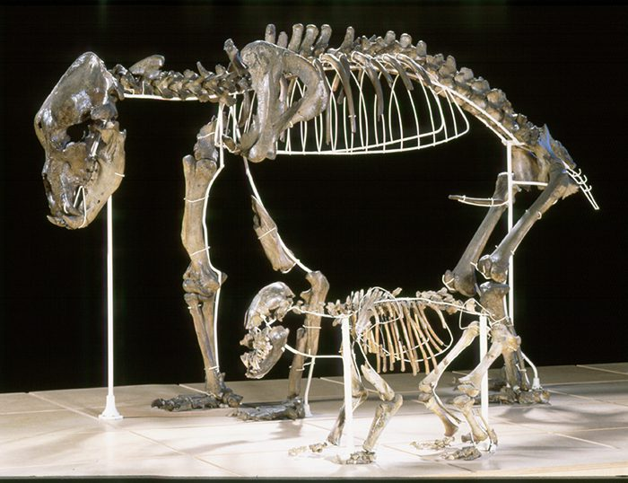Adult cave bear with cub from Goyet Cave in Belgium.